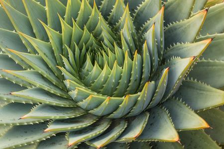 サボテンの葉スパイラル 写真素材