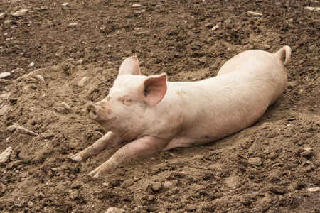 domestic pig resting in mud