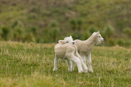 bleating: bleating newborn lambs Stock Photo