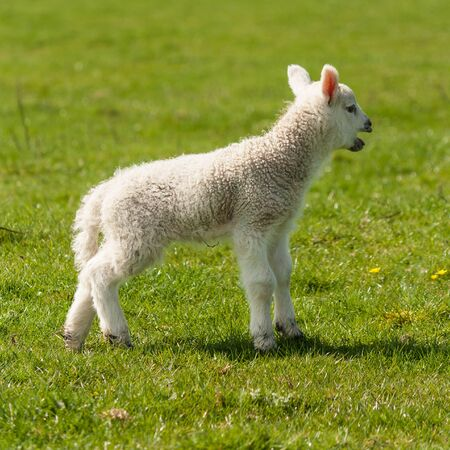 bleating: bleating newborn lamb