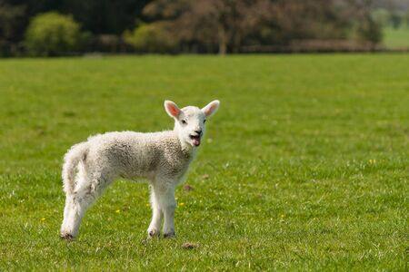 bleating: isolated lamb on green meadow