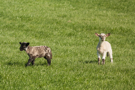 bleating: two spotted lambs on grass