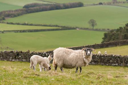 ewe: ewe grazing with lambs