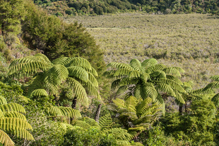 tropical native fern: tree ferns growing on marshes