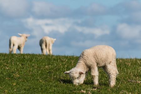 little lambs grazing on fresh meadow  photo