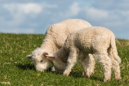 grazing newborn lambs photo