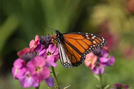monarch butterfly feeding on pink flowers photo