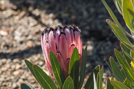 protea flower: pink protea flower bud