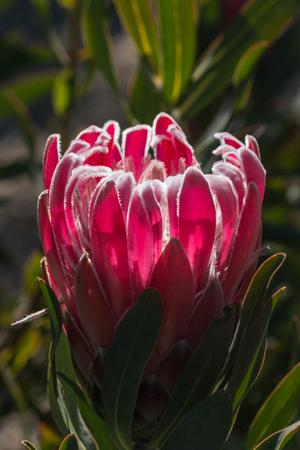 protea flower: detail of purple protea flower  Stock Photo