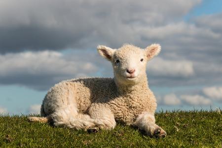 basking little lamb Stock Photo