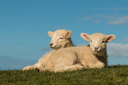 basking lambs against blue sky photo