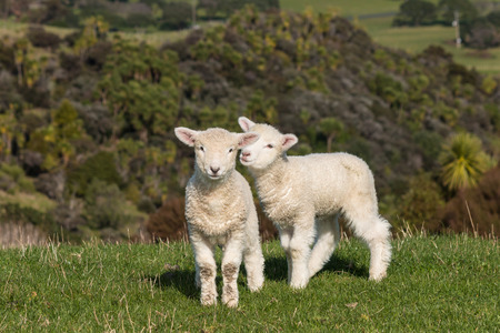 遊び心のある子羊 写真素材