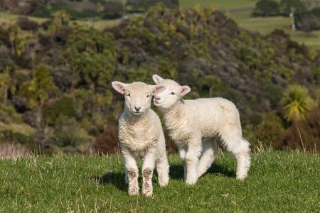 pasen schaap: speelse lammetjes