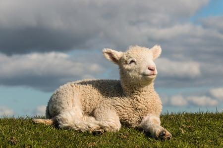 newborn lamb basking on grass photo