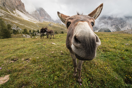 ears donkey: curious donkey in Dolomites