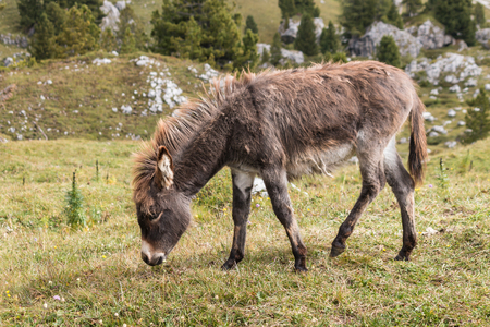baby ass: young donkey grazing on alpine meadow Stock Photo