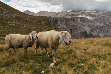 gardena: sheep above Val Gardena in Dolomites