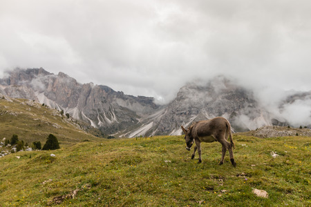 roaming: donkey roaming in Dolomites