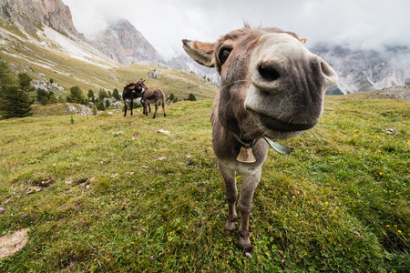 ears donkey: wide angle picture of donkey in Dolomites Stock Photo