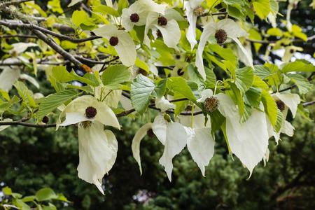 ハンカチの木の花 写真素材
