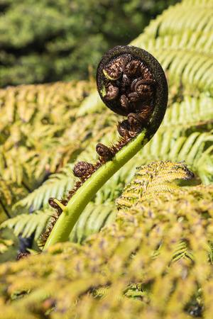 silver fern: detail of silver fern frond