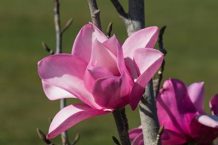 magnolia soulangeana: detail of pink magnolia flower