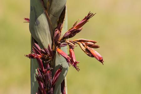 new zealand flax: detail of New Zealand flax flowers Stock Photo