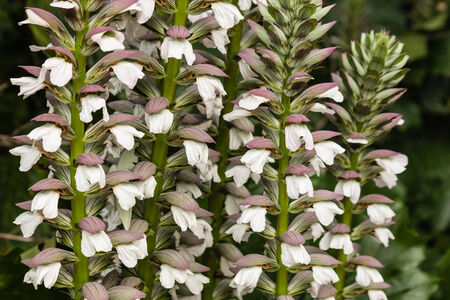 acanthus: detail of acanthus plant flowers