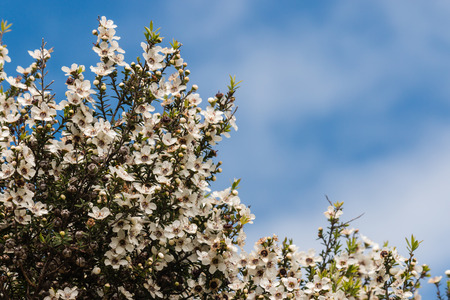 tea tree flowers against blue sky