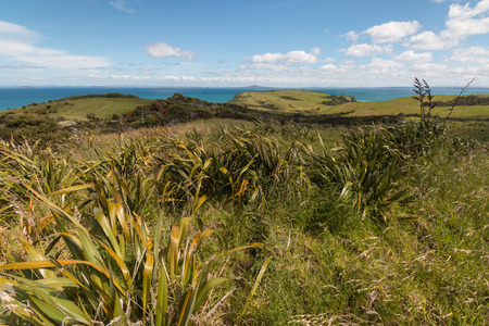 new zealand flax: New Zealand flax growing on rolling hills