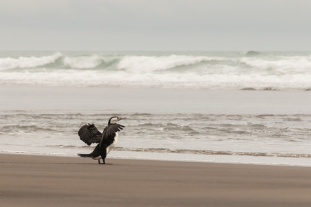 cormorant flapping its wings Stock Photo