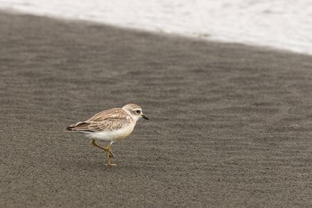 plover: New Zealand plover on sandy beach