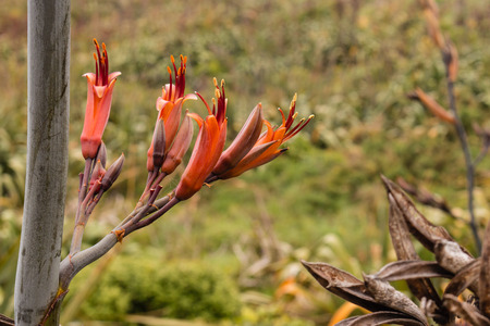 ニュージーランドの亜麻の花
