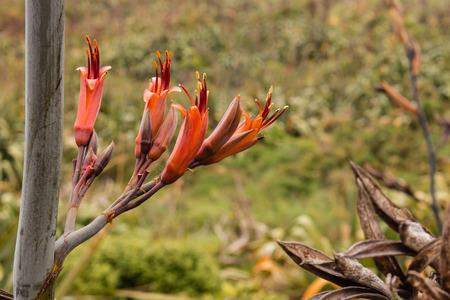 new zealand flax: New Zealand flax flowers