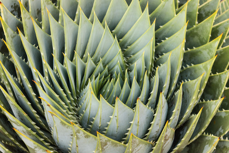 polyphylla: spiral aloe leaves Stock Photo