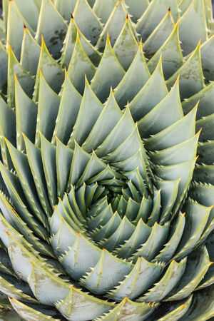 polyphylla: detail of spiral aloe Stock Photo