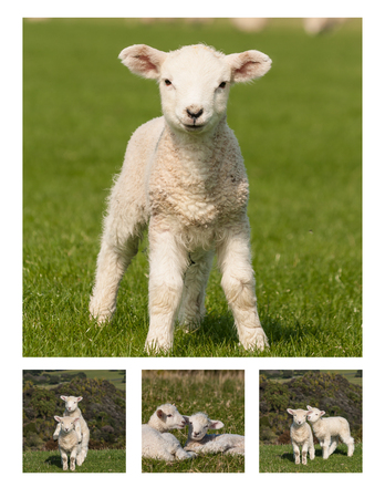 pasen schaap: speelse lammeren collage