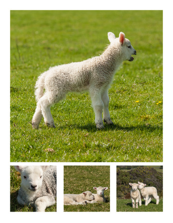 bleating: newborn lambs collage Stock Photo