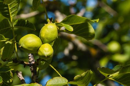 husks: sunlit walnut husks Stock Photo