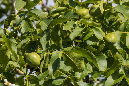 husks: walnut husks and leaves