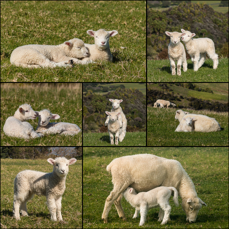 collection of newborn lambs photo