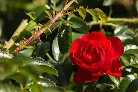 rosas rojas: detalle de rosa roja en flor