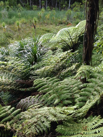 Giant ferns growing in rainforest