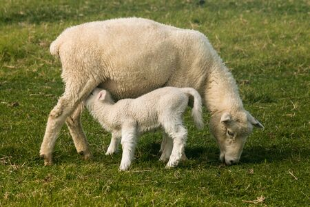 ewe with suckling lamb Stock Photo