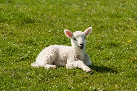 basking: newborn lamb basking on spring meadow Stock Photo
