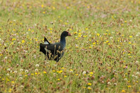 purple swamphen: purple swamphen foraging on meadow