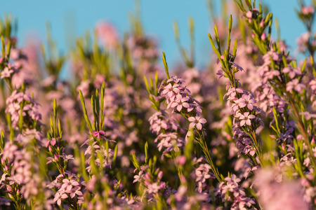 heather: pink heather flowers against blue sky Stock Photo