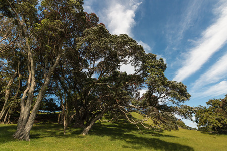 gnarled: gnarled Pohutukawa trees