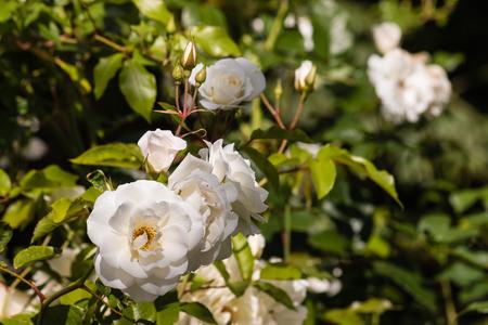 rose bush: white rose bush in bloom Stock Photo