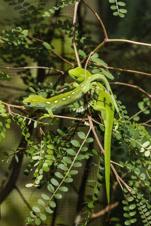 basking: basking Wellington green geckos